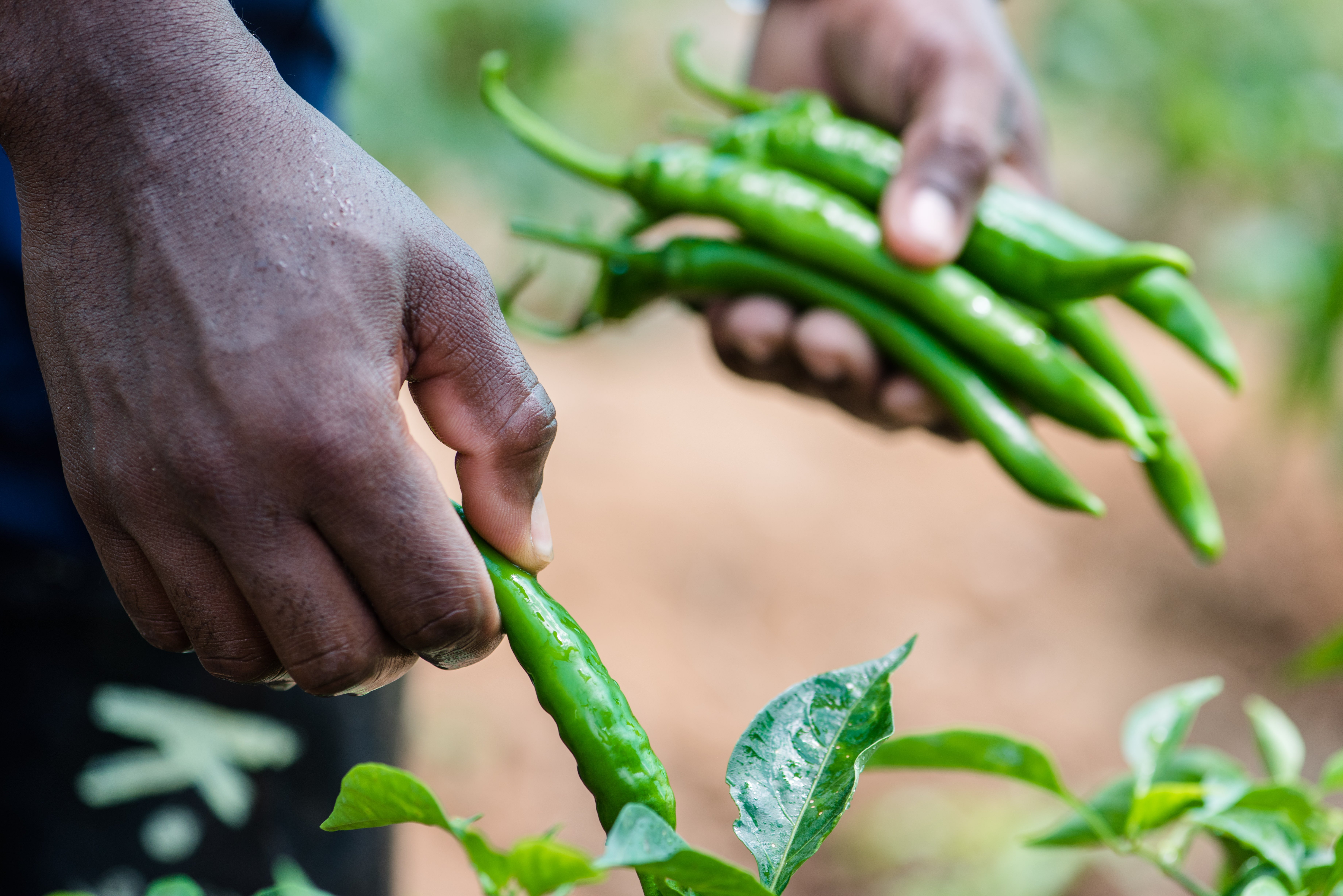 Chilies from own Farm
