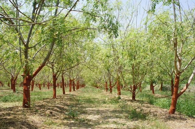 moringa tree elven agri farm