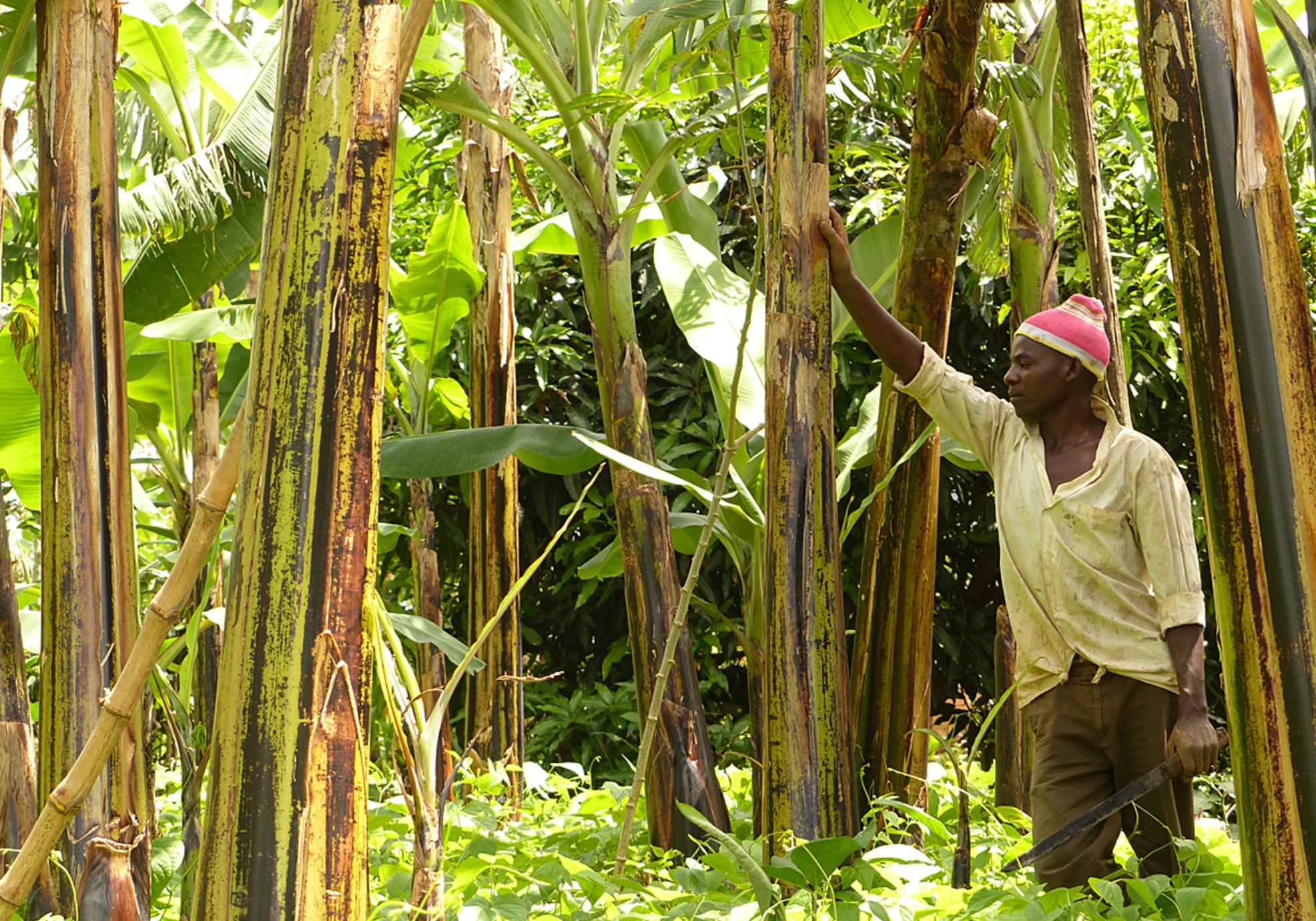 Banana intercropping