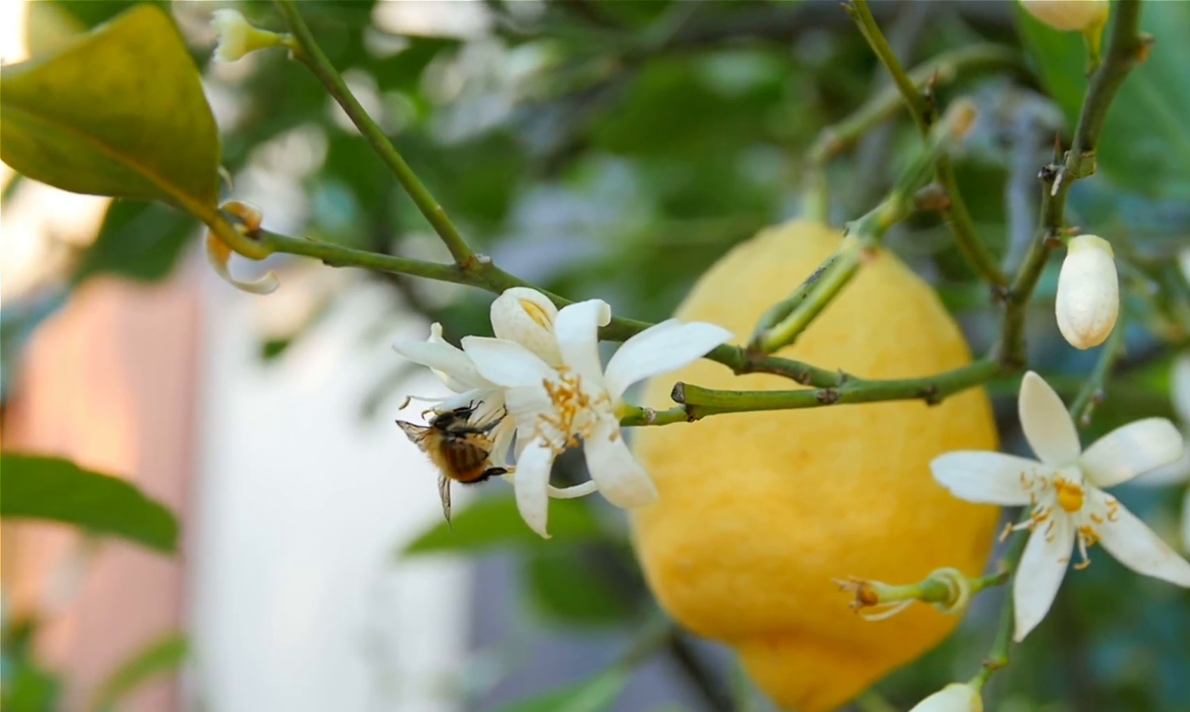 Save the bees - lemon tree