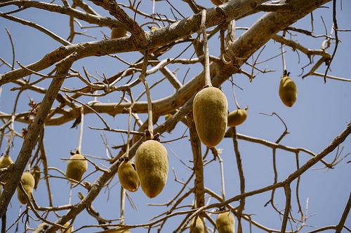 Baobab image