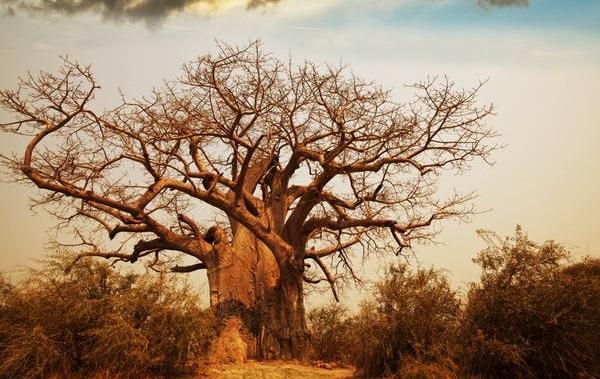 Baobab tree Africa