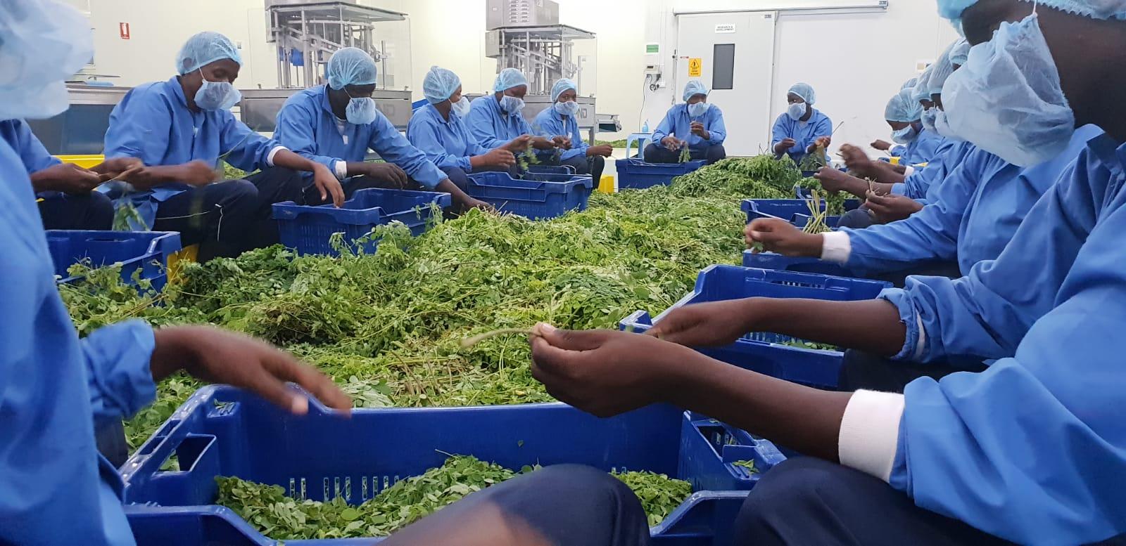 Moringa-leaves-production-Elven-Agri